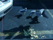 Birds Eat Potato Chips in Walmart Parking Lot