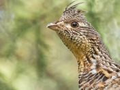 Ruffed Grouse Portrait