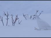 Strutting across the snow