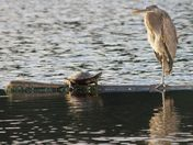 Great Blue Heron & Turtle