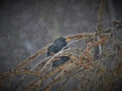 One little starling braving the weather