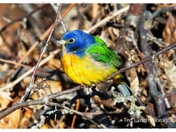 PAINTED BUNTING.....just visiting