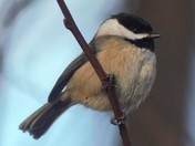 Fraser River Black Capped Chickadee