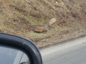 Groundhog spotted taking a stroll Feb 1 at 12:35 pm near Quarryville