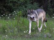 Wolf in Kootenay