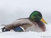 Male Mallard in the snow