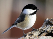 "Black-capped Chickadee I call ""Double Dip"""