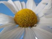 Daisy Against the Sky