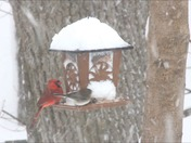cardinal in the storm