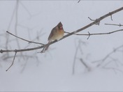 Female Cardinal in the storm