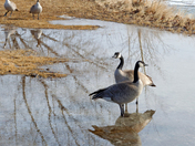 Reflected Geese