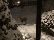 Deer in front yard!