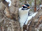Adult Male Hairy Woodpecker bird