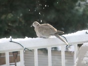 Dove in Winter