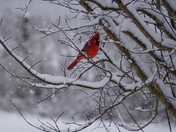 Red Bird Enjoys The Snow! (The_Busy_Lens )