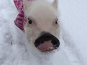 Snow Piggie!