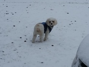 Snowball playing in the Snow