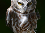 Petite nyctale / Saw-whet owl