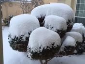 snowball bush.