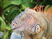 handsome iguana