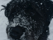 labradoodle enjoying the snow