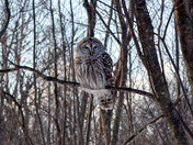 Sparred Owl hunting
