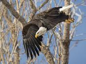 Bald Eagle After Lift Off