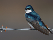 Return of the Tree Swallows