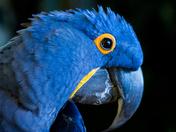 Hyacinth Macaw 2
