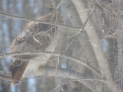 The Hawk In Our Yard