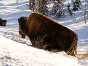 Wood Bison, Alaska Highway,  B.C.
