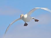 Incoming: Mute Swan