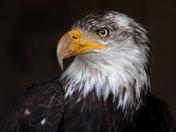 Caged Eagle