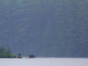 Moose in Algonquin Park