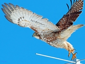 Red Tail Hawk (Immature)