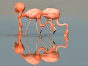 Flamants roses / Flamingo