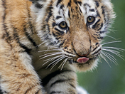 Tiger Cub - Wet From Mom Bathing Him
