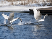 Swans on the run