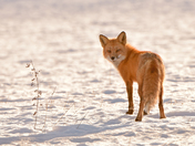 Red Fox, Backlit
