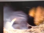 3rd baby eagle being hatched this morning
