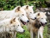 Loups artique