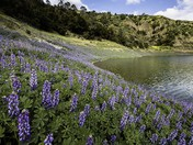 Lake Anderson Lupine