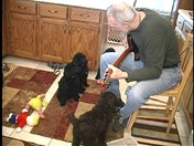 "This is the ""Guitar Man"" singing to a litter of 8 week old standard poodle pups."