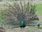 Family peacock