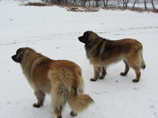 Fresh Pond Leonbergers Then and Now