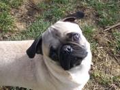 Wobbie the Pug