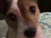 Spike, our Parson Jack Russell Terriet (sent by Ann Jones and Tom Johnson)