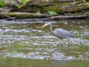 Goldstream's resident Blue Heron.
