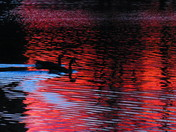 Geese at dusk
