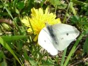Moth on Dandelion